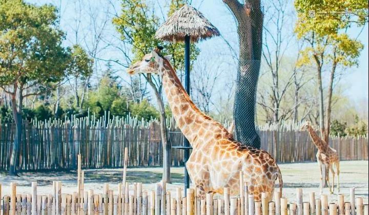 【动物狂欢 玩转上野】399元起抢购上海野生动物园景酒套餐,入住上海夏洛特丽呈睿轩酒店